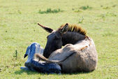 Acaba de nacer un burro y jenny — Foto de Stock