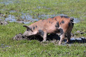 Dirty little pig in a mud — ストック写真