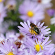 Bee and autumn flower nature background  — Stock Photo