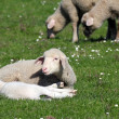 Lambs and sheep on pasture — Stock Photo