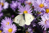 White butterfly on flower macro — Stock Photo