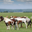 Horses and foals on pasture — Stock Photo