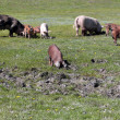 Pigs in a mud on farm — Stock Photo