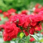 Red roses flower garden spring season — Stock Photo #38384019