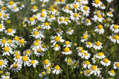 Chamomile flowers meadow spring season — Stock Photo