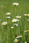 White wild flowers spring season — Stock Photo