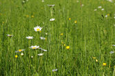 Meadow with white wild flowers and green grass — Stock Photo
