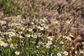 Chamomile and bee spring season — Stok fotoğraf