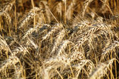 Golden wheat field nature background — Stock Photo