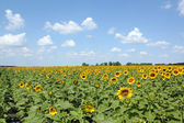 Sunflower field and blue sky — Stock Photo