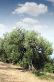 Old olive tree Sithonia Greece — Stock Photo