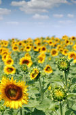 Bright sunflower field agriculture industry — Stock Photo