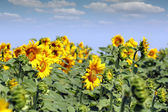 Sunflowers summer season agriculture industry — Stock Photo