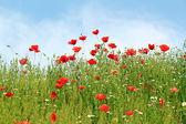 Poppy wild flowers spring season — Stock Photo