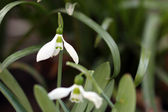 Snowdrop in grass spring season — 图库照片