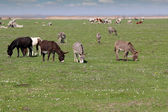Donkeys and cows on pasture — Stock Photo