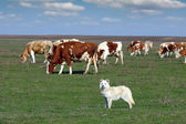 Sheepdog with herd of cow in background — Foto de Stock