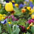 Yellow tulip flower garden close up — Stock Photo #44126781