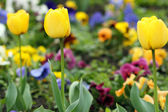 Yellow tulip flower garden close up — Stock Photo