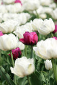 White and red tulip flower — Stockfoto