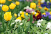 Tulip flower garden nature background — Stockfoto