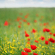 Poppy flower meadow spring season — Stock Photo