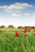Red poppy flower meadow spring season — Stock Photo