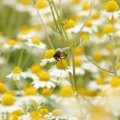 Bee on chamomile flower spring season nature background — Stock Photo
