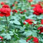 Red roses garden spring season — Stock Photo #47007785