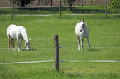 Two Lipizzaner horse on field — Stock Photo
