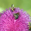 Three bees on flower spring season — Stock Photo