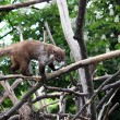 Coati standing on tree branches — Stock Photo #47447333