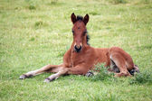 Cute brown foal lying on meadow — Stock Photo