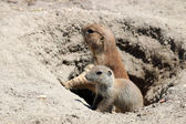 Prairie dogs watching from hole — Stock Photo