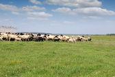 Herd of sheep running on field — Foto de Stock