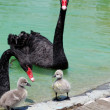 Black Swand Cygnet — Stock Photo #26218269
