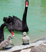 Black Swan and Cygnet — Stock Photo