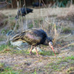 Waldrapp (Geronticus Eremita) - Northern Bald Ibis — Stock Photo