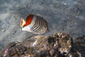 Redback Butterflyfish - Chaetodon paucifasciatus — Stock Photo