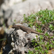 Stock Photo: Lizard is basking on rock