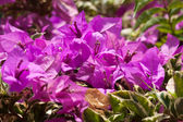 Pink bougainvillea flowers, at sunny day — Stockfoto