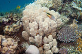 Coral reef is underwater in Red sea — Stock Photo