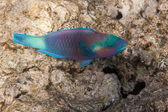Dusky parrotfish is underwater — Stock Photo