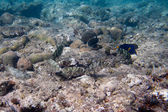 Mimicry. Six Siganidae are on the seabed — ストック写真