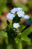 Spring Flowers forget-me (Myosotis) — Stock Photo
