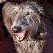 Scottish Deerhound — Stock Photo #21018393