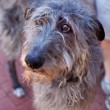 Scottish Deerhound — Stock Photo #21018775