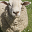 Stock Photo: Border Leicester Ewe