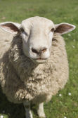 Border Leicester Ewe — Stock Photo
