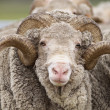 Saxon Merino Ram — Stock Photo #32518109